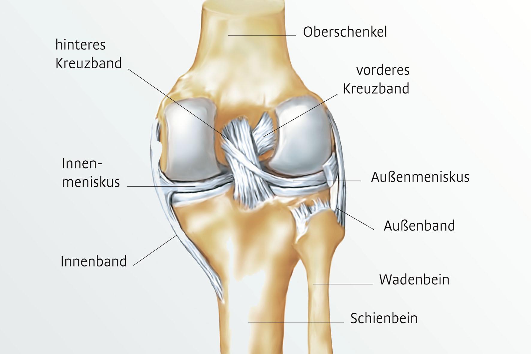 Gemütlich Vorderes Bein Anatomie Galerie - Menschliche Anatomie ...